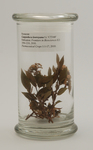 Nyssaceae, Camptotheca lowreyana