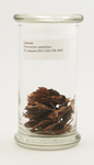 Fabaceae, Pterocarpus santalinus