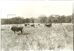 2200-4 Herefords Grazing - LBJ National Grasslands