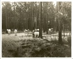 2200-6 Range Cattle - Angelina National Forest