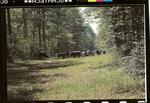 2200-8 Grazing - Sam Houston National Forest 001